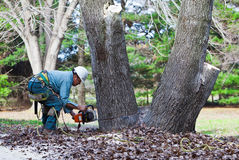 Worker Cutting a Tree with Chainsaw. A worker is at the base of a tree cutting through the trunk. His tools and ropes are hanging from his harness on his other Stock Photos