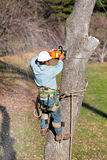 Worker Cutting Tree with Chainsaw. While strapped to the tree and with his tree climbing spikes dug into the tree, a worker is cutting through the tree trunk Royalty Free Stock Image