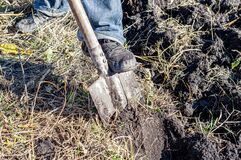 A worker digs the ground with a hand shovel in the garden, a person prepares the soil for planting crops, spring digging of the
