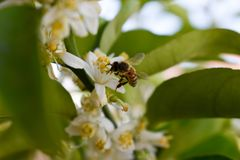 A Bee Samples A Luscious Blossom stock image