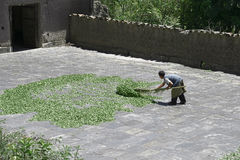 Worker drying coca leaves in a traditional way at The Coca Leaves Depot in Chulumani. Sud Yungas, Bo Stock Photography