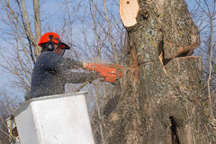 Worker felling maple tree. Mature tree surgeon on articulated platform felling or trimming maple tree with chainsaw royalty free stock photos