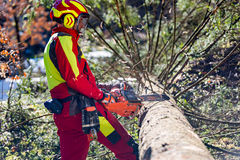 Worker felling the tree with chainsaw Stock Photography