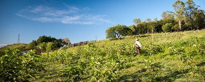 Worker on fig plantation Royalty Free Stock Image