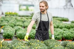Worker with flowers in the greenhouse. Handsome worker in uniform taking care of flowers in the greenhouse Stock Photo