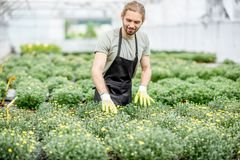 Worker with flowers in the greenhouse. Handsome worker in uniform taking care of flowers in the greenhouse Royalty Free Stock Images