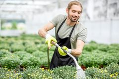 Worker with flowers in the greenhouse. Handsome worker in uniform watering flowers in the greenhouse Royalty Free Stock Photo
