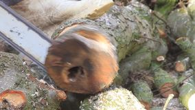Worker with gas chain saw, cutting, sawing wood for firewood stock video