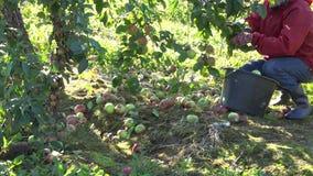 Worker gather fresh apple in apple tree plantation harvest. 4K. Worker hand gather fresh ripe red apple fruit in apple tree plantation at harvest time. 4K UHD stock video footage