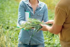 A worker gives sheaf of wheat to agronomist for analysis stock photo