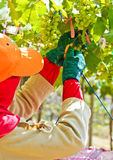 Worker in grape plantation Royalty Free Stock Photos