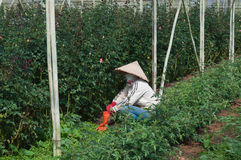 Worker in a greenhouse. Da lat. Vietnam Royalty Free Stock Photography