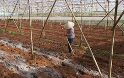 Worker in a greenhouse. Da lat. Vietnam Stock Photo