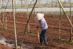 Worker in a greenhouse. Da lat. Vietnam Stock Image