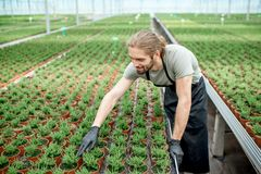 Worker in the greenhouse of plant production. Handsome worker taking care of plants supervising the growing process in the greenhouse of plant production Royalty Free Stock Photos