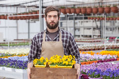 Worker at a greenhouse. Portrait of young adult male worker carrying small potted flower in tray at greenhouse Royalty Free Stock Photography