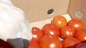 Packing fresh red tomatoes in boxes stock video footage