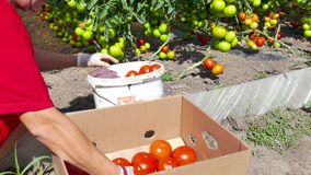 Tomato from the plantation ready for the market stock footage