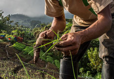 Worker growing chives in Central America Stock Image