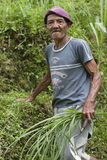Worker in harvest rice. Asian old worker in harvest rice stock photo
