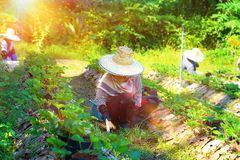 Worker harvest strawberries. Illustrations,december 2,2016,in winter at chiang mai province thailand,morning with planter in strawberry farm, farming gardener stock image