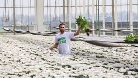 Worker harvesting  chrysanthemums Royalty Free Stock Image