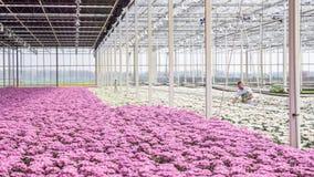 Worker harvesting  chrysanthemums Stock Photo