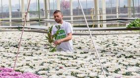 Worker harvesting  chrysanthemums Royalty Free Stock Photos