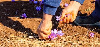 Worker harvesting crocus in a field at autumn. Worker harvesting crocus in a saffron field at autumn, closeup on the hands Stock Images