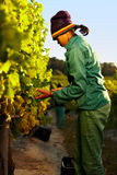 Worker harvesting grapes from vine Stock Photography
