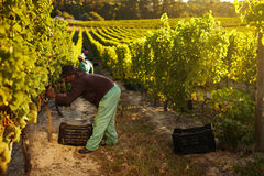 Worker harvesting grapes for wine. Image of worker picking grapes from vines and collecting in container, people harvesting grapes for wine in vineyard Royalty Free Stock Photos