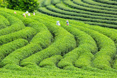 Worker harvesting green tea royalty free stock image
