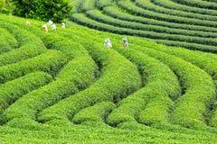 Worker harvesting green tea Royalty Free Stock Image