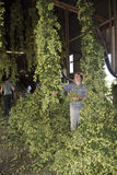 Worker harvesting hops used in beer making Royalty Free Stock Images