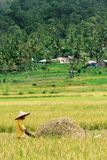 Worker during harvesting paddy season royalty free stock photo