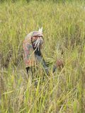 Worker harvesting rice in Tana Toraja Royalty Free Stock Image