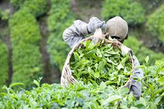 Worker Harvesting Tea Leaves stock photography