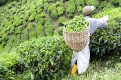 Worker Harvesting Tea Leaves Stock Images