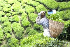 Worker Harvesting Tea Leaves Stock Image