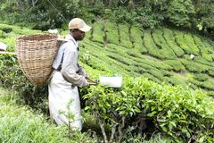 Worker Harvesting Tea Leaves Stock Photos