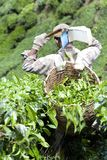 Worker Harvesting Tea Leaves Royalty Free Stock Image
