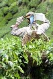 Worker Harvesting Tea Leaves Royalty Free Stock Image