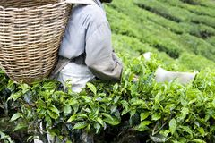 Worker Harvesting Tea Leaves Royalty Free Stock Photography