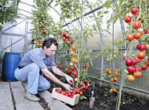A worker harvests of red ripe tomatoes in a greenhouse. Made of transparent polycarbonate Royalty Free Stock Photo