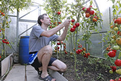 A worker harvests of red ripe tomatoes in a greenhouse. Made of transparent polycarbonate Stock Photography