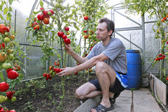 A worker harvests of red ripe tomatoes in a greenhouse. Made of transparent polycarbonate Royalty Free Stock Photography