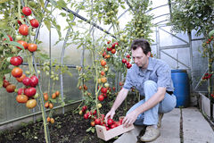 A worker harvests of red ripe tomatoes in a greenhouse. Made of transparent polycarbonate Stock Image