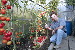 A worker harvests of red ripe tomatoes in a greenhouse Royalty Free Stock Image