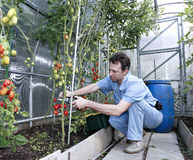 A worker harvests of red ripe tomatoes in a greenhouse. Made of transparent polycarbonate Royalty Free Stock Image