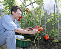 A worker harvests of red ripe tomatoes in a greenhouse. Made of transparent polycarbonate Stock Photos